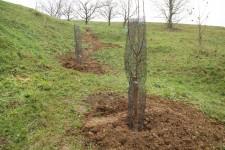 Danes smo zaščitili drevesa v Levstikovem sadovnjaku