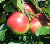 Jablana carjevič