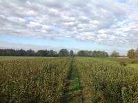 Drevesnica Malus je boter jablani bitenfelder reneta