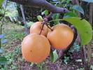 Kako se da sadje čez zimo ohraniti?