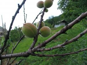 Breskova kodravost - plodovi so osamljeni brez listov na vejah